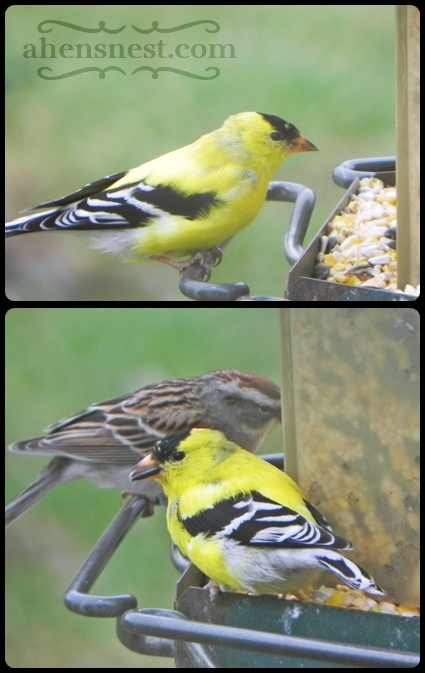 goldfinch at bird feeder