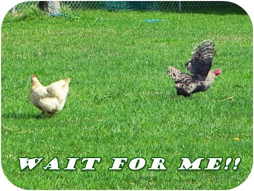 chicken running