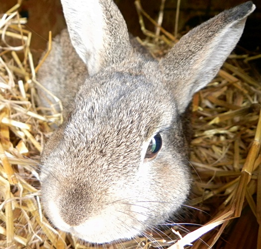 aggie the bunny