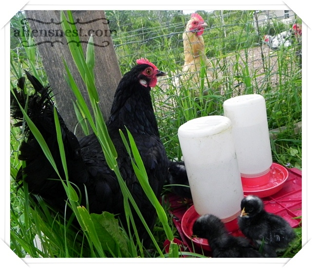 chicken meeting