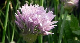 10 ways to eat Chive flowers