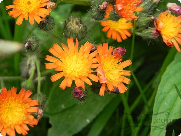 orange hawkweed PA wildflower