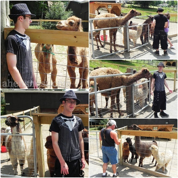 llamas and alpacas at deer Park
