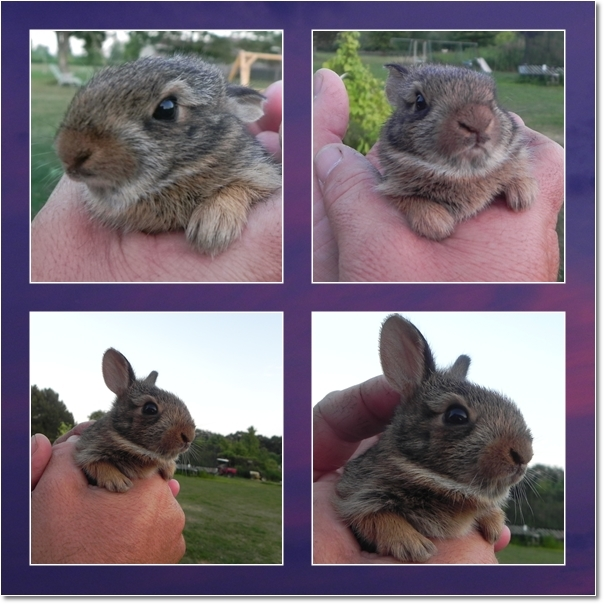 rescued wild baby bunny