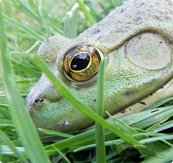 frog eyeball