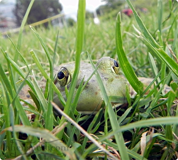 frog in the yard