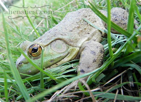 huge green frog