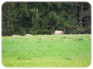 first Elk sighting