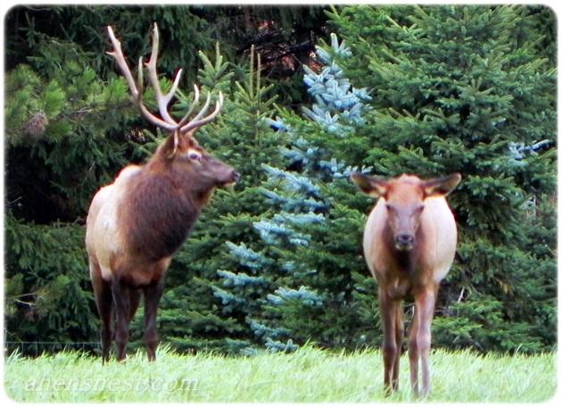 adult bull elk