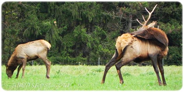 bull elk scratching