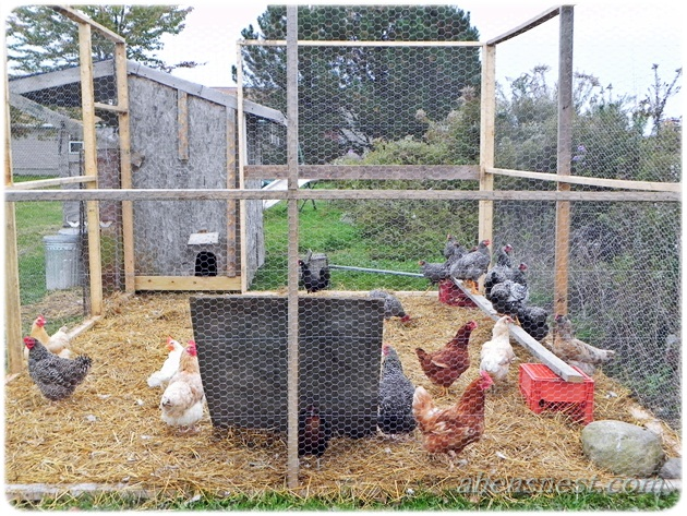 pictures of chicken coops and pens 3