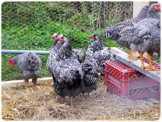 pencil laced wyandotte hens
