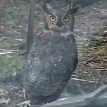 Great Horned Owl in chicken pen