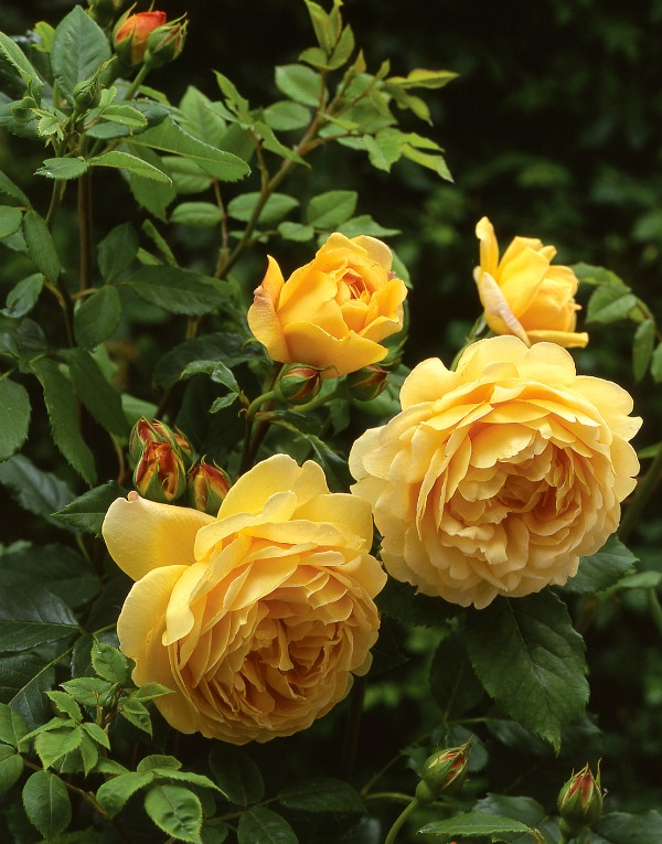 ten most fragrant english roses to beautify your gardens. Black Bedroom Furniture Sets. Home Design Ideas