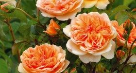 Ten Most Fragrant English Roses to beautify your gardens this year!