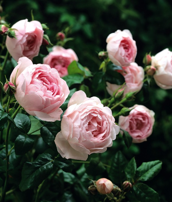 Ten Most Fragrant English Roses To Beautify Your Gardens