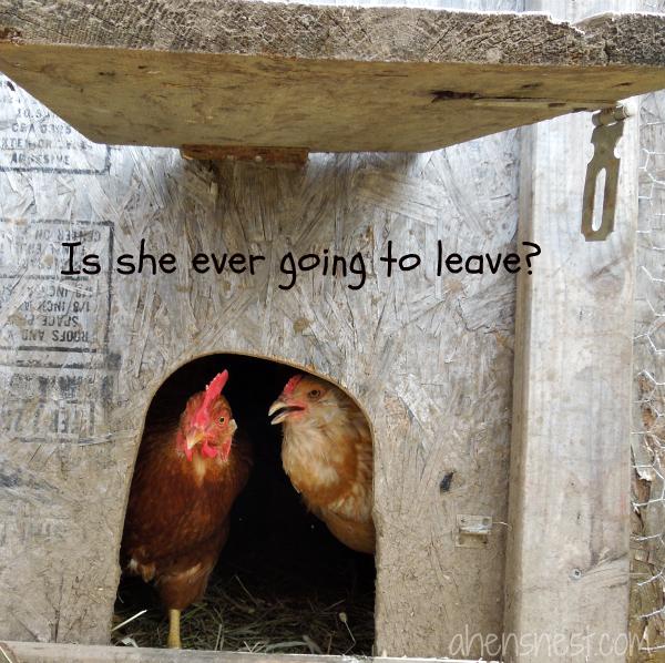 annoyed chickens peeking out chicken coop door