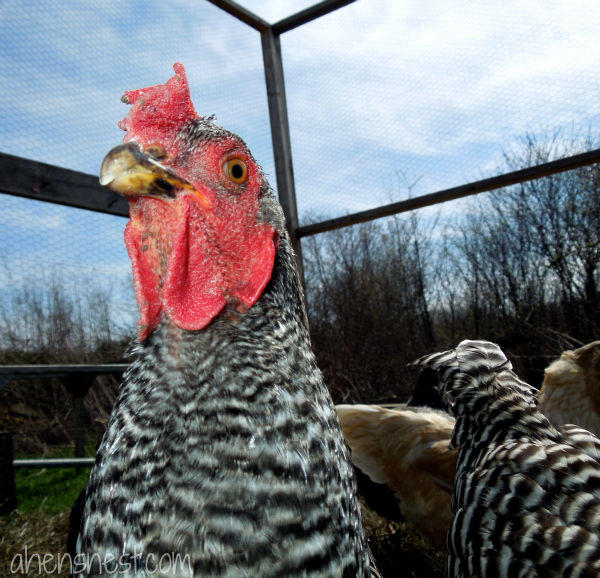 barred plymouth rock hen headshot