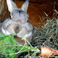 cute bunny eating a carrot