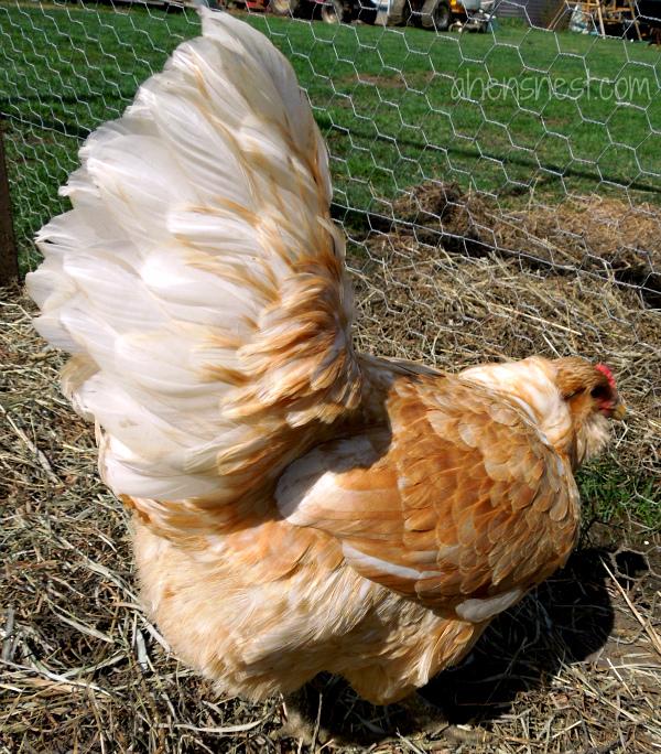 pretty easter egger hen
