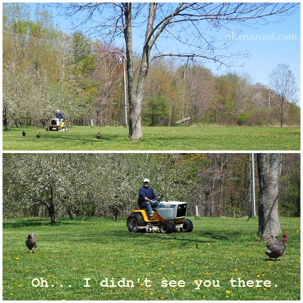 my hubby chasing the chickens with the tractor