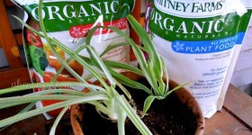 Feeding my plants with Whitney Farms organic plant food