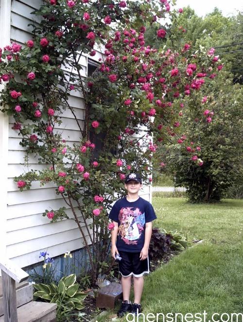 climbing rose bush 2005