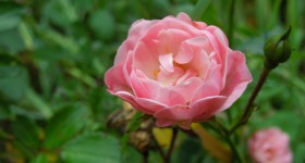 {not quite wordless} My Rose Garden #WW