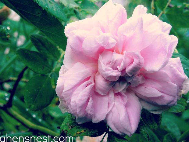 seven sisters rosebush