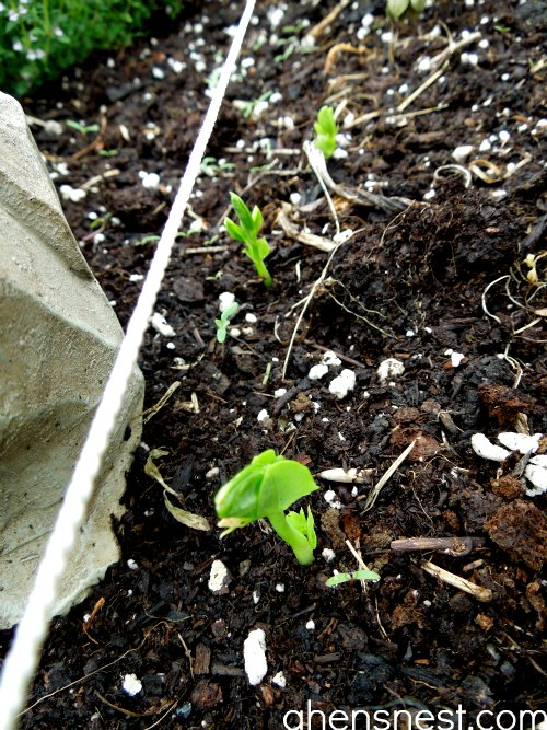 snap pea sprouts