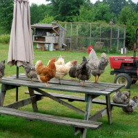 chickens picnic table roosting