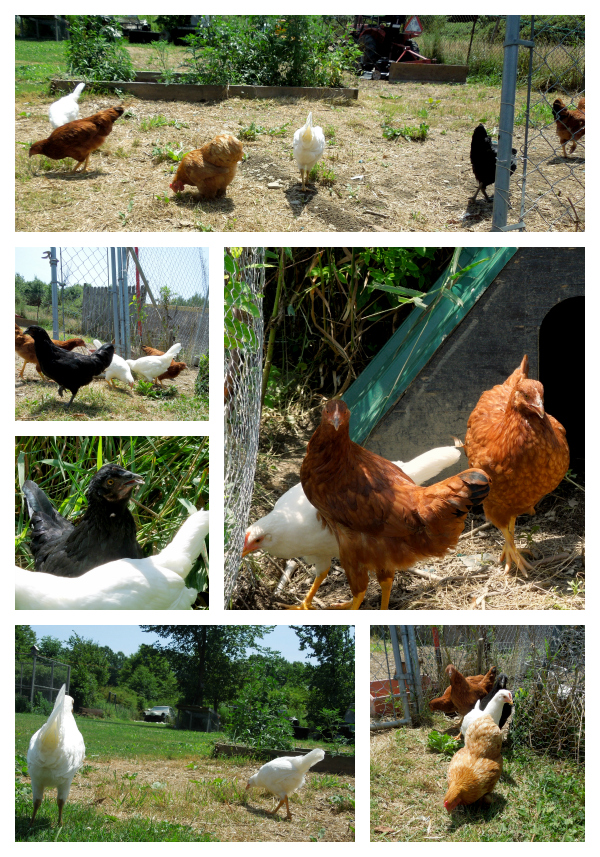 chicks exploring the yard 2012 Collage