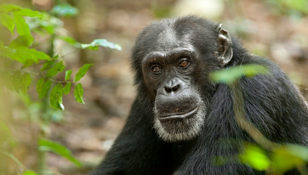 Freddy - Disneynature's Chimpanzee