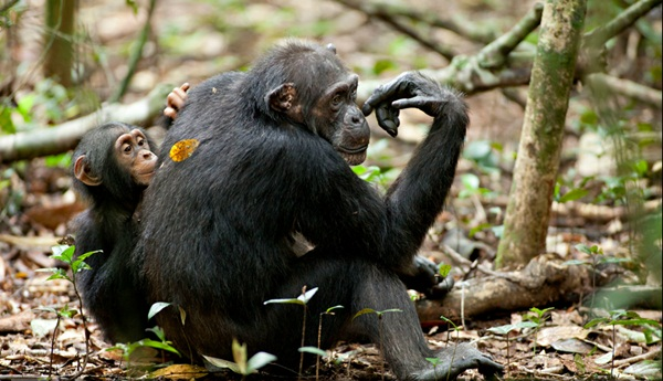 Isha Oscar Chimpanzees Disneynature