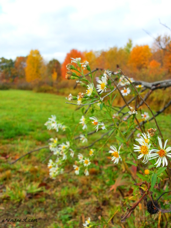 autumn aster flowers