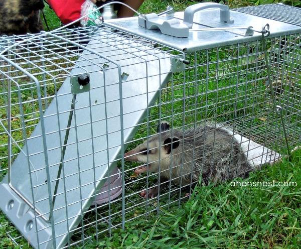 humane wild animal trap