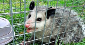 possum capture