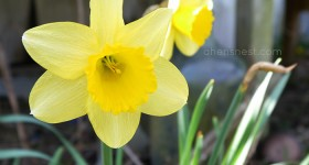 spring daffodil bloom