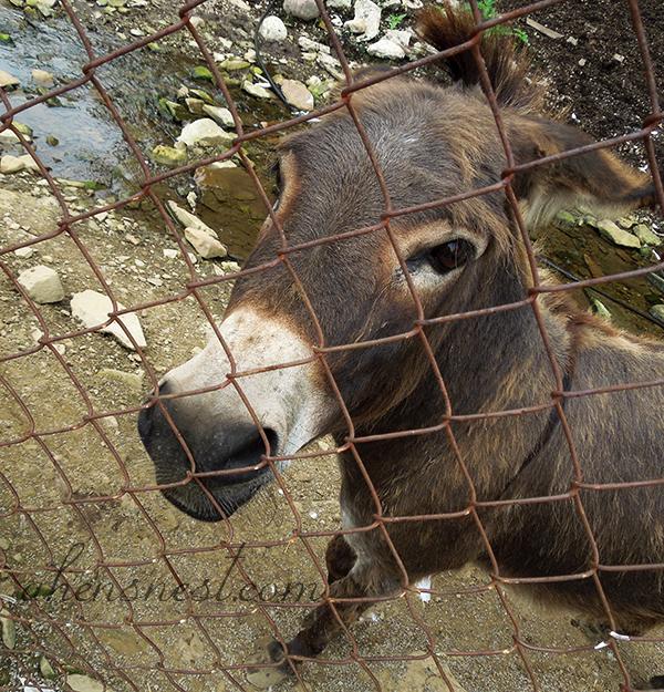 deer-park-cute-donkey