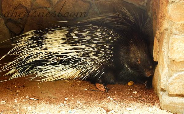deer-park-porcupine