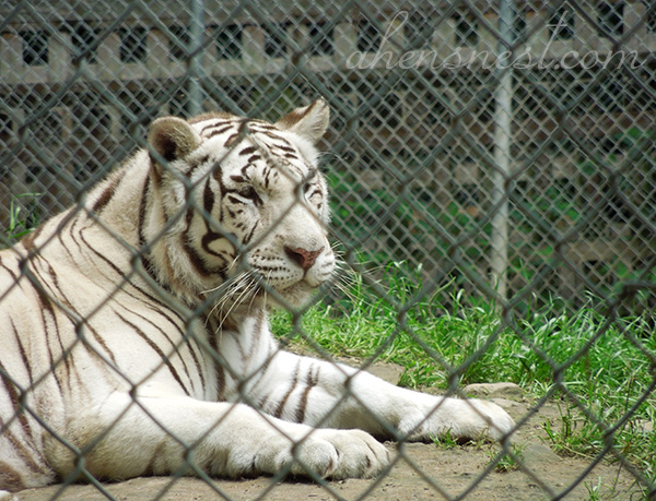 first-zoo-trip-baby-white-tiger