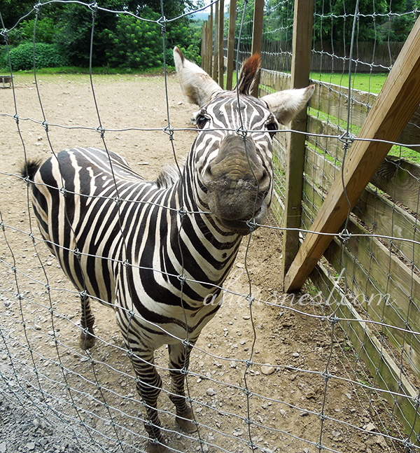 first-zoo-trip-baby-zebra