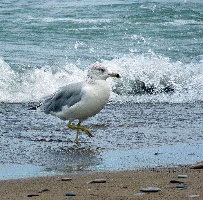 Presque Isle State Park Lake Erie Pennsylvania - seagull in the waves