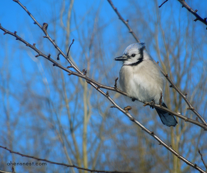blue jay bird pennsylvania