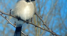 Wordless Wednesday – Blue Sky Blue Jay #ww