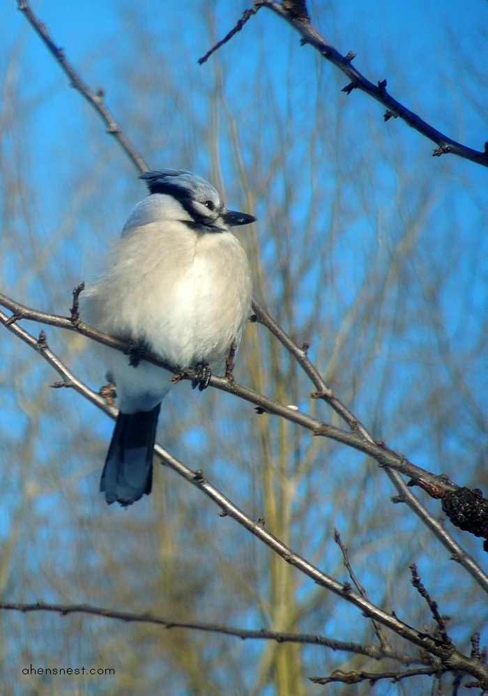 blue jay on a tree in pennsylvania winter