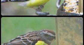 goldfinch at bird feeder