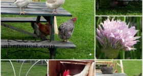 pesky chickens