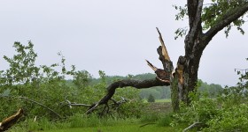 Tree damaged by tornado May 2011