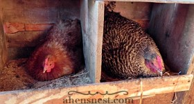 broody hens on nest